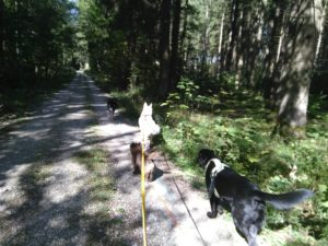 Bild zeigt vier Hunde beim Dogwalking. Sie laufen auf einem Weg durch einen sonnendurchfluteten Wald.